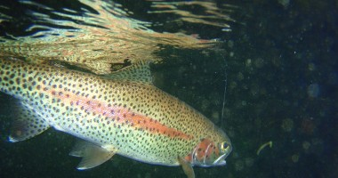 ODFW Curtails Fishing Hours to Help Native Fish